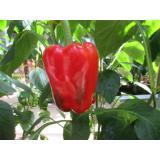 Paprika blockig rot