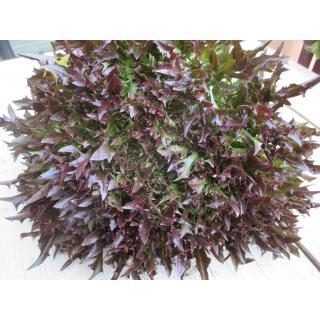 Salanova Crispy rot