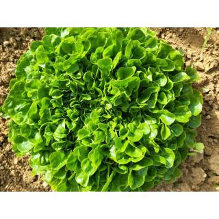 Salanova grün