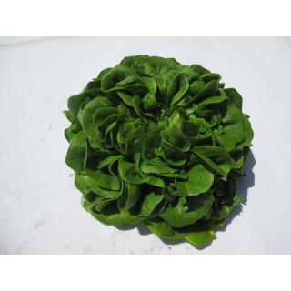 Salanova Crispy grün