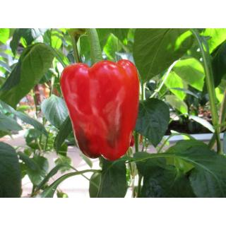Paprika farbig